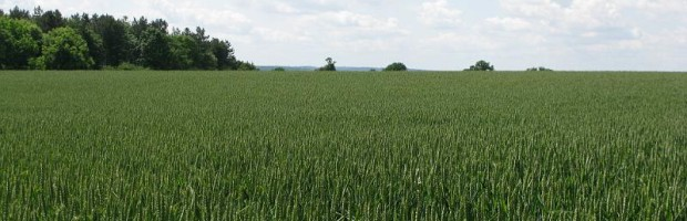 Crop Wheat Field 11
